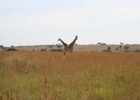 Gallery Ug 2 giraffes