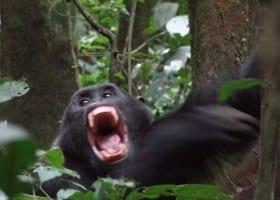 Gallery Ug Chimpanzee