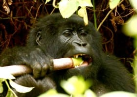 Gallery Ug gorilla 2