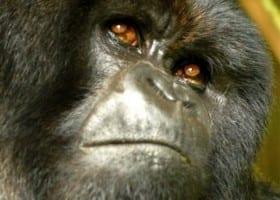 Gallery Ug gorilla