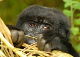 Gallery Ug gorilla baby
